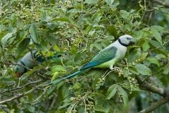 2-Blue-winged_Parakeet_pair_by_N.A._Nazeer