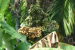 3-a-Areca-nut