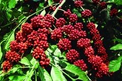 7-A-coffee-seeds