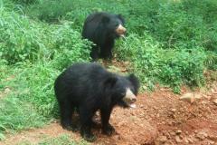 8-sloth-bear