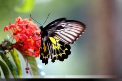 Portfolio_Nature_Southern-Birdwing-in-Sakleshpur__DM30947-1024x682-1