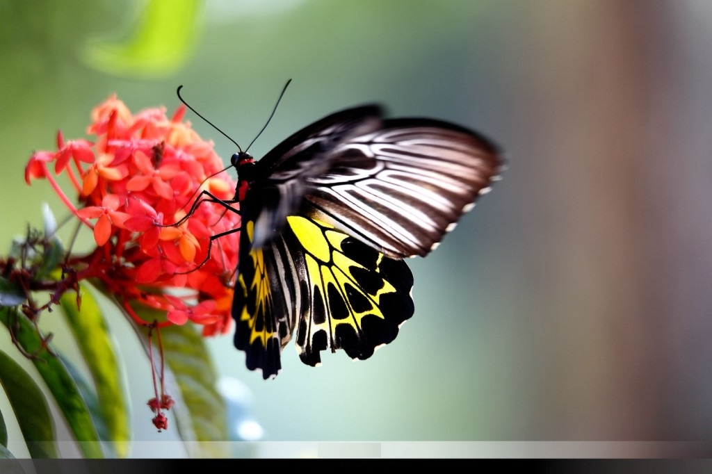 Portfolio_Nature_Southern-Birdwing-in-Sakleshpur__DM30947-1024x682